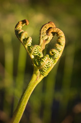 F is for fern 01 may 18 (Shaun the grime lover) Tags: warrington spring bracken fern shoots latchford evening stem curled leaves