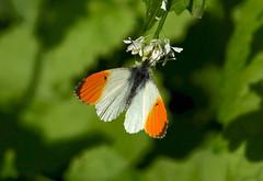 Orange-tip --- Anthocharis cardamines (creaturesnapper) Tags: lepidoptera uk maplelodge europe pieridae orangetip anthochariscardamines