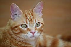 Spritz (En memoria de Zarpazos, mi valiente y mimoso tigre) Tags: cat ginger kitten kitty gatto micio gato katze chat neko orangetabbymiciorossospritz spritzeddu gatito chatonroux