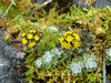 Hippolytia gossypina (Hook. f. & Thoms. ex C.B. Clarke) C. Shih (Asteraceae) (Himalayan Biodiversity and Landscape) Tags: hippolytiagossypina hippolytia asteraceae tanacetumgossypinum tanacetum himalayanflora floraofhimalaya himalayanflowers floraofnepal floraofeasthimalaya taplejung nepal