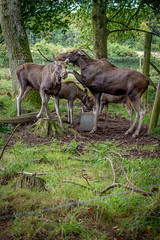 Scottish Deer Centre 2017 - 1335.jpg (DavidRBadger) Tags: fife wildlifepark cupar animalpark thescottishdeercentre bowoffife conservation moose europeanelk