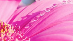 In a Row - 5132 (YᗩSᗰIᘉᗴ HᗴᘉS +17 000 000 thx) Tags: row macro flower flora drop droplet pink hensyasmine namur belgium europa aaa namuroise look photo friends be wow yasminehens interest intersting eu fr greatphotographers lanamuroise tellmeastory flickering