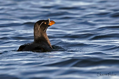 Rhinoceros Auklet (Sharon's Nature) Tags: outershoresexpeditions wildlife aves bird ocean pacificocean canon canada britishcolumbia seabird rhinocerosauklet cerorhincamonocerata