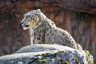 Snow leopard on the rock