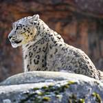 Snow leopard on the rock thumbnail