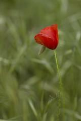 Abstracto (Bartolomé Ramirez) Tags: rojo amapolas abstracto natural natura naturaleza canon600d canon pintoresco flores verde macro macrofotografia inexplore explore tamron90mm macromania