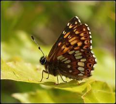 Duke of Burgundy resting (glostopcat) Tags: dukeofburgundybutterfly butterfly insect invertebrate macro may glos spring butterflyconservation prestburyhillnaturereserve