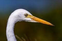 Profile (gecko47) Tags: bird egret heron intermediateegret closeup profile rocklea brisbane wader waterbird wetland lagoon