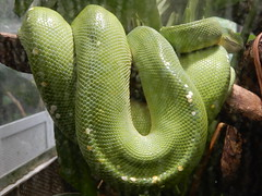 Jardin des Plantes: Ménagerie: green python (John Steedman) Tags: jardindesplantes フランス france frankreich frankrijk francia parigi parijs 法国 パリ 巴黎 ménagerie greenpython python snake