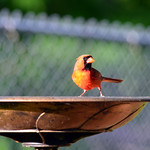 Male Northern Cardinal thumbnail