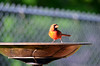 Male Northern Cardinal (U.S. Fish and Wildlife Service - Midwest Region) Tags: minnesota mn spring may 2018 nature wildlife bird birds birding cardinal northerncardinal red birdbath bath bathing backyard yard
