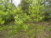 Diospyros rhombifolia Hemsley 1889 (EBENACEAE). (helicongus) Tags: diospyrosrhombifolia diospyros ebenaceae jardínbotánicodeiturraran spain