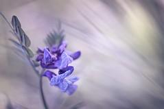 Vicia cracca (JossieK) Tags: viciacracca vlinderbloem vogelwikke blue vetch birdvetch bluevetch vogelwicke hülsenfrüchtler blau bokeh plant weed flowers