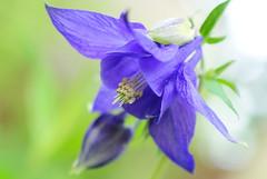 morning flower columbine (jrmcmellen) Tags: