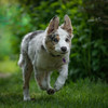 Shooting Star (FireDevilPhoto) Tags: dog pets animal cute purebreddog canine puppy grass mammal outdoors domesticanimals nature looking younganimal friendship sleddog sheepdog small fur obedience everypixel action bordercollie