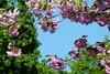 (evisdotter) Tags: sakura körsbärsblom spring pink sky flowers blommor macro light colors sooc