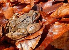Ein Grasfrosch im Buchenwald (anubishubi) Tags: amphibien frosch frog grasfrosch lurch froschlurch wald buchenwald tier nikoncoolpixs9900