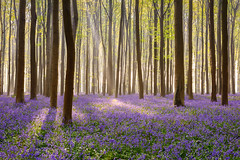 Purple carpet (renan4) Tags: woods forest purple bluebells carpet flowers hallerbos belgium europe travel tree renan4 renan gicquel d800 nikon landscape