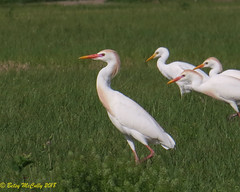 Cattle Egret (Bubulcus ibis) (Betsy McCully) Tags: floridabirds cattleegret bubulcusibis egrets iucnlc