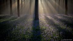 First Light 2 (Sue MacCallum-Stewart) Tags: bluebells wephamwoods woodland spring landscape