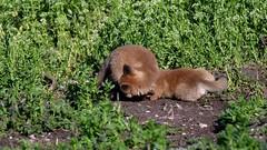 Fox Kits at Play (RGL_Photography) Tags: carnivora fox gardenstate jerseyshore kits monmouthcounty mothernature newjersey nikonafs600mmf4gedvr nikond500 redfox us unitedstates vulpervulpes wildkingdom wildlife wildlifephotography foxkit