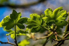 Leaves (Travels with a dog and a Camera :)) Tags: 2018 spring england dog walking pentax k30 morning leaves lightroom april netham plants tamron af 18200mm f3563 xr di ii ld asperical if macro tree park justpentax bristol redfield digital art south west uk blue sky bluesky dogwalking nethampark pentaxart pentaxk30 southwest tamronaf18200mmf3563xrdiiildaspericalifmacro unitedkingdom gb