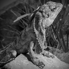 Little Dragon (CarSaBe) Tags: lizard echse dragon little drache drachen black white light square animal tier kralle stone stein portrait eye augen face gesicht lumix