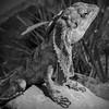 Little Dragon (CarSaBe) Tags: lizard echse dragon little drache drachen black white light square animal tier kralle stone stein portrait eye augen face gesicht lumix