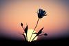 Garage Flower (iratebadger) Tags: nikon nikond7100 d7100 nature sky shadows silhouette sunset sun sundown flower focus black bokeh vignette outside orange perspective pink backlit iratebadger