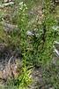 Pseudognaphalium californicum (Gnaphalium c.), GREEN EVERLASTING (openspacer) Tags: asteraceae everlasting jasperridgebiologicalpreserve jrbp pseudognaphallium