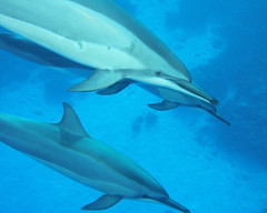 guardians (BarryFackler) Tags: dolphins stenellalongirostris marinemammals pod spinnerdolphins hawaii cetaceans odontoceti delphinidae hawaiianspinnerdolphins slongirostris cetacea swimming water westhawaii saltwater ecology ecosystem reef honaunau honaunaubay undersea pacificocean sea seacreature island bigisland ocean scuba polynesia marinebiology zoology creatures vertebrates biology nature kona life hawaiiisland aquatic marine sealife barryfackler diver 2018 underwater bay oceanic pacific marinelife diving southkona animal barronfackler organisms sealifecamera konacoast bigislanddiving sandwichislands seawater dive fauna hawaiicounty hawaiidiving konadiving beings seacreatures marineecosystem marineecology hawaiianislands outdoor tropical