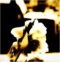 Twenty Four Hours (sjpowermac) Tags: drs twentyfourhours samaritans thegoodsamaritan smalltalksaveslives 37402 carlisle help talking flower wilting fading hope