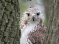 Red-tailed Hawk (Ben daCosta) Tags: hawk birding warblers spring hawks tailed red ben dacosta canatara park