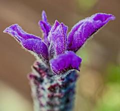 Lavender Flower Head ( Olympus OM-D EM1-II & M.Zuiko 30mm Macro Prime) (1 of 1) (markdbaynham) Tags: flower lavender macro closeup nature olympus omd em1 em1ii em1mk2 mft micro43 mzuiko 30mm f35 macroprime primelens m43 m43rd zuikolic csc mirrorless