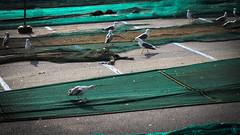 Goéland - Roses (Nik2o) Tags: roses catalunya printemps spring nikon d7500 goéland seagull marine animale nature mer sea oiseau bird espagne géométrie couleur preaching sigma 50mm art apsc red de pesca fish net filet pêche nik2o
