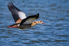 egyptian goose flying (Paul Wrights Reserved) Tags: egyptiangoose flying inflight birding bird birds birdinflight birdwatching birdphotography water waterfowl waterbird