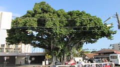 Kailua-Kona - Banyan Tree (Stabbur's Master) Tags: kona kailuakona hawaii hawaiianislands bigisland banyantree konabanyantree