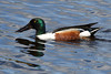 Colours. (stonefaction) Tags: ducks drake birds nature wildlife rspb loch kinnordy kirriemuir angus scotland shoveler