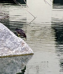 Green Heron Image (1) (Photo Nut 2011) Tags: ranchobernardo sandiego california greenheron webbpark