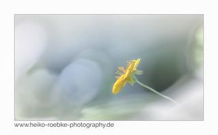 Gelbes Windröschen  (Anemone ranunculoides)