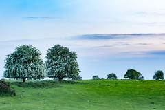 Cast away your clouts.. (CarolAnn Photos) Tags: 2018 bufton eydon may nature sheep tree trees