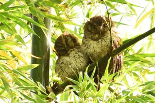 Currucutú común - Megascops choliba