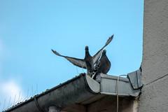 lovejwoo (YassChaf) Tags: paris birds wildbirds oiseaux urbanbirds citybirds