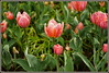 d (29) (Martin Stringer) Tags: ottawa ontario beauty flowers floral tulips tulipfestival scenics landscapes