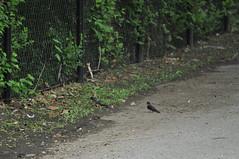 Tree Swallows (David.Sankey) Tags: birding birds birdingnyc rooseveltisland eastriver newyorkcity newyork nycbirding queens swallows