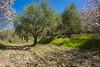 Grove (Bashbvi) Tags: olive olives trees grove landscape almond blossom lebanon lala bekaa nikon