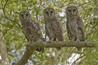 Barred Owl Juveniles