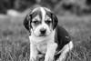 Those Puppy Dog Eyes (Thomas Hawk) Tags: america bayarea california eastbay piedmont usa unitedstates unitedstatesofamerica westcoast beagle bw dog puppy
