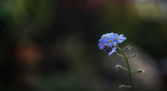All on my Own (photofitzp) Tags: closeup forgetmenot gardenblue macro spring weeds wildflowers