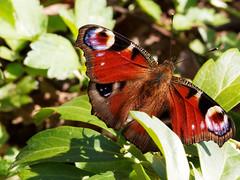 Schmetterling (hugoholunder) Tags: natur schmetterling sonne licht pflanze tagpfauenauge insekt schoen beautiful butterfly